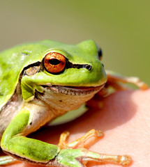 eyes of a frog