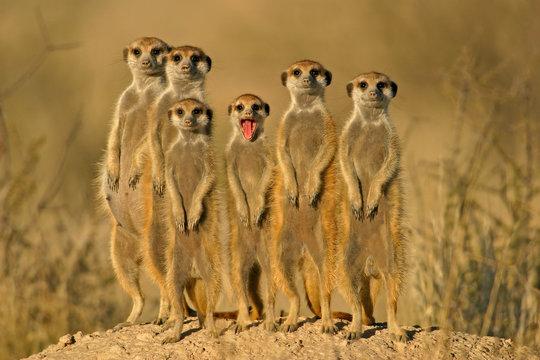 suricate family