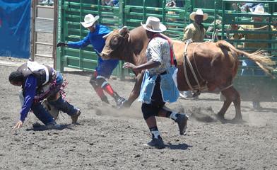 bull chasing cowboys