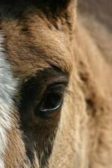 horse foal eye
