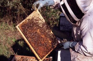 apiculteur examinant son cadre