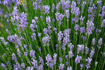 Garden Poster Lavender lavande