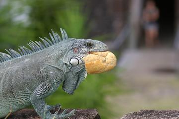 iguane mangeant du pain