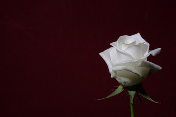 white rose on a red background