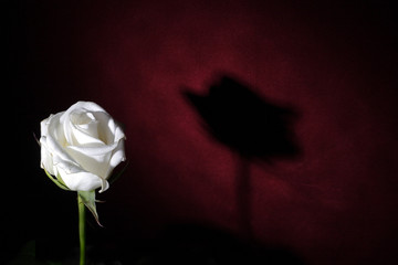 white rose on a red background with shadow