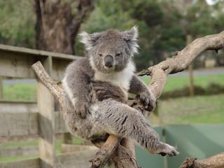 chuffed koala