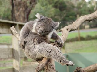 koala awaken