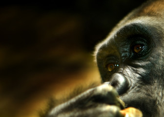 younge gorilla deap in thought