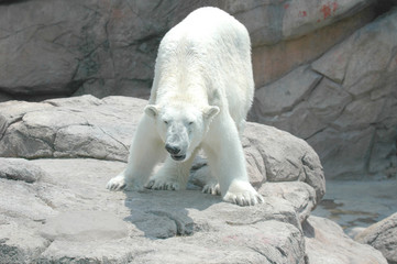 polar bear # 3