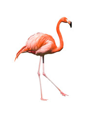 Foto op Canvas Flamingo red caribbean flamingo dancing isolated