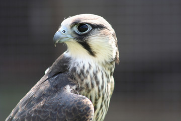 hobby hawk