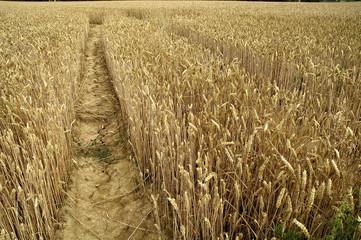 moisson des blés