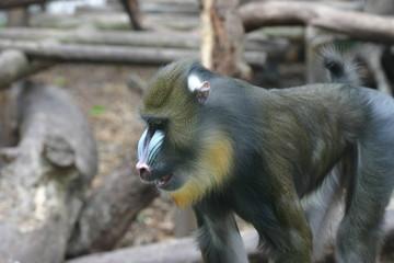 mandrill,primate,ape,chimpanzee,mammal,animal,natu