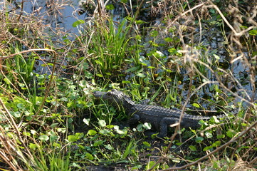 alligator,gator,paynes prairie,gainesville,florida