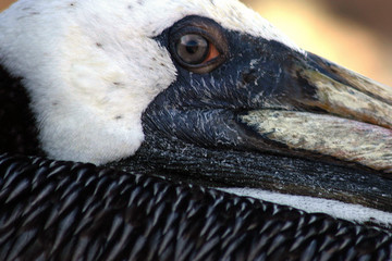 close-up of pelican head