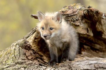 red fox pup (vulpes vulpes) lookiing camera left.