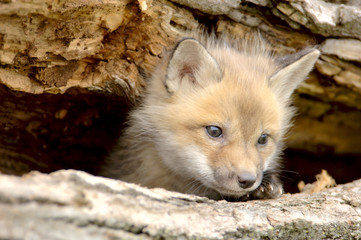 red fox pup (vulpes vulpes) looking camera right.