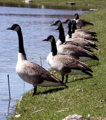 geese in a row