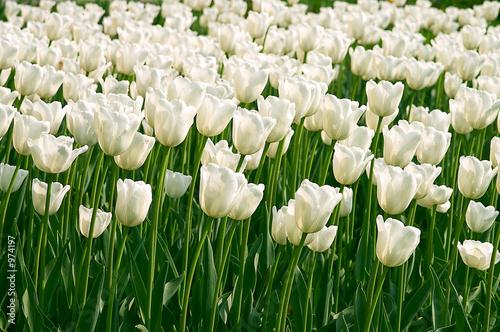 белые тюльпаны видео