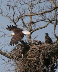 eagle leaving nest