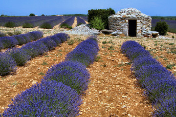 Printed roller blinds Lavender champ de lavande en fleur