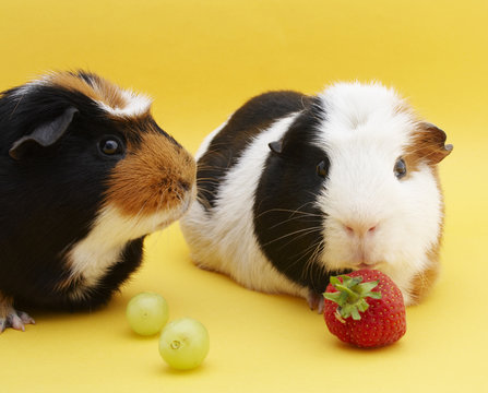 2 guinea pigs with grapes & strawberry