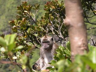 singes des iles dans les arbres