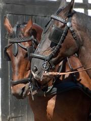 pferde im halfter