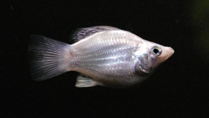 silver sailfin molly