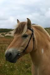 friendly fjord horse