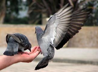 pigeons on hand