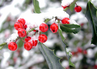 winter holly