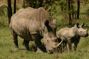portrait of an adult and juvenile  rhino
