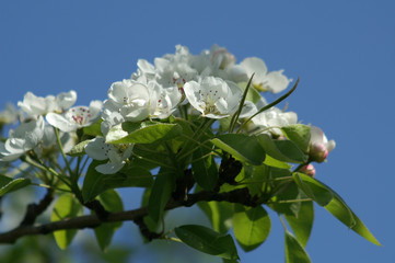 blossom under blue sky