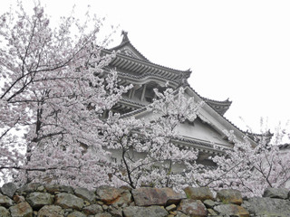 himeji castle with cherry blossoms (sakura) in the foreground