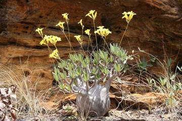 pachypodium rosalatum (pied d'éléphant)
