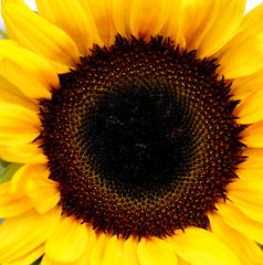 sunflower centered