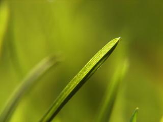 sharo grass macro