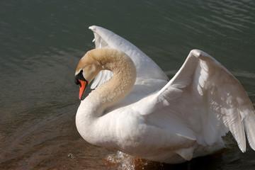 schwan in drohhaltung