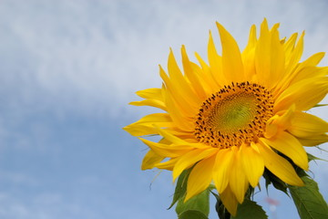 sunflower.