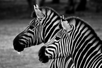 Aluminium Prints Zebra two zebra