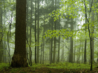 mist in a forest