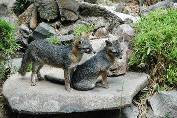 grey foxes