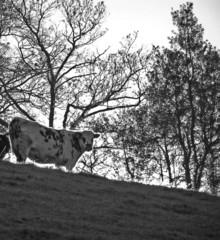 0420-vache en silhouette