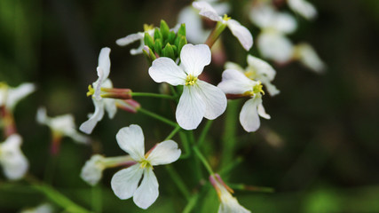 white flower of oil-seed