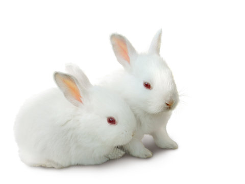 two cute white baby rabbits isolated on white.