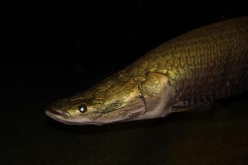 big gold fish