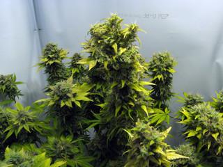 mature marijuana plant