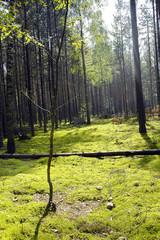coniferous wood landscape