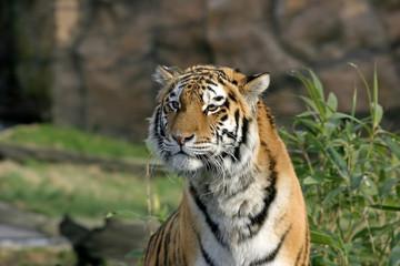 aimg_2180 tiger